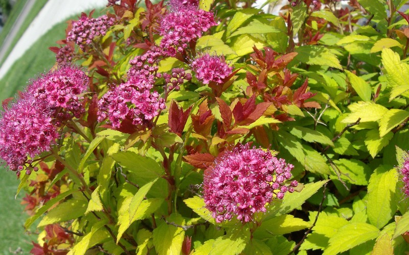 Magic Carpet Spirea - (1) 6