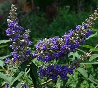 Delta Blues Chaste Tree - Vitex
