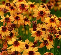 Pumpkin Pie Coreopsis - Tickseed