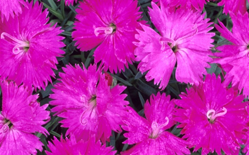 Neon Star Dianthus - Cottage Pinks - 1 Gallon - Dianthus Groundcovers | ToGoGarden