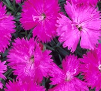 Shop Neon Star Dianthus - Cottage Pinks - 10 Count Flat of Quart Pots