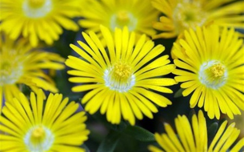 "Delosperma Golden Wonder Ice Plant - 10 Count Flat of 4.5"" Pots - Delosperma - Ice Plant 
