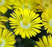 Delosperma 'Golden Wonder' - Iceplant