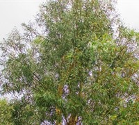 Shop 'Angus' Eucalyptus - 1 Gallon