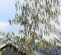 Shop 'Grace' White Gum Eucalyptus - 3 Gallon