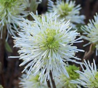 Mount Airy Dwarf Fothergilla - Witch Alder