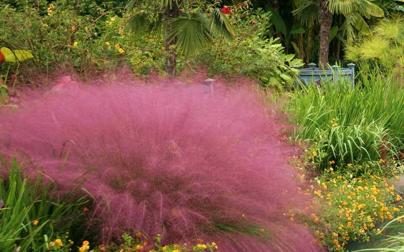 Fast Forward Muhly Grass Photo 1