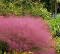 Fast Forward Muhly Grass