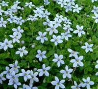 Laurentia axillaris 'Blue Stars' - Blue Star Creeper