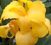 Shop Cannova Yellow Hybrid Canna Lily - 1 Gallon