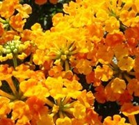 Sunset Orange Hardy Lantana