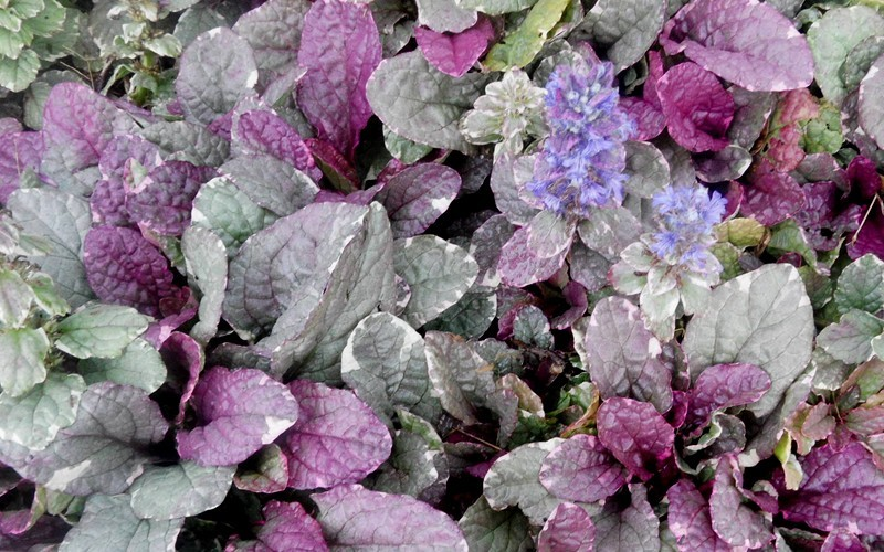 Ajuga Burgundy Glow Bugleweed Photo 2