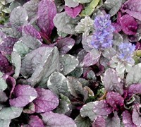 Shop Ajuga Burgundy Glow Bugleweed - 3 Count Flat of Pint Pots