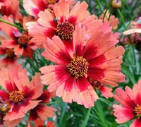 Shop Desert Coral Coreopsis - Tickseed - 3 Count Flat of Pint Pots