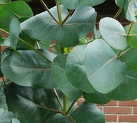 "Shop 'Big O' Eucalyptus Omeo Gum - 4"" Pot"
