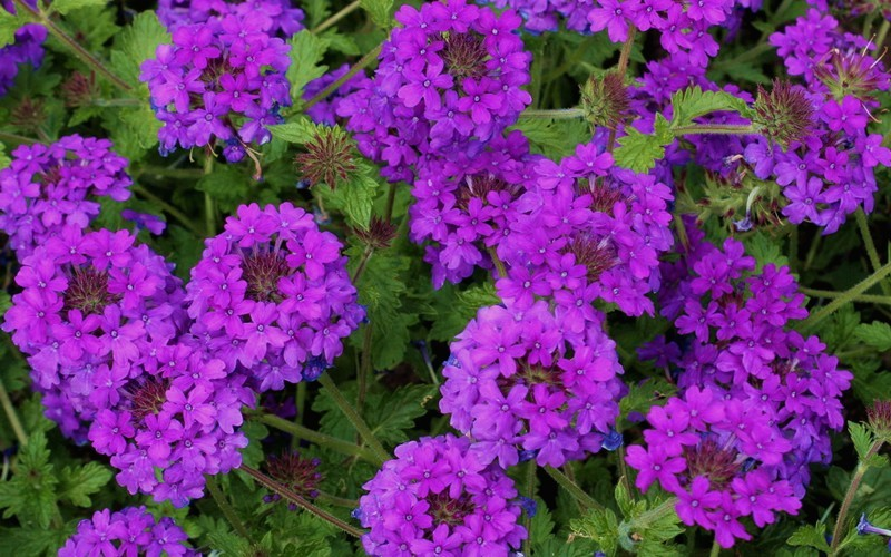 Homestead Purple Hardy Verbena - 3 Count Flat of Pint Pots - Verbena - Perennial | ToGoGarden