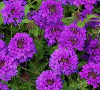 Shop Homestead Purple Hardy Verbena - 3 Count Flat of Pint Pots
