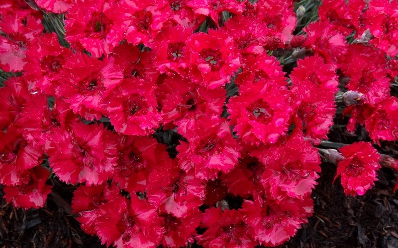 Firestar Dianthus  - 1 Gallon - Dianthus Groundcovers | ToGoGarden