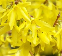 Yellow Bells Forsythia - Forsythia intermedia 'Lynwood Gold'