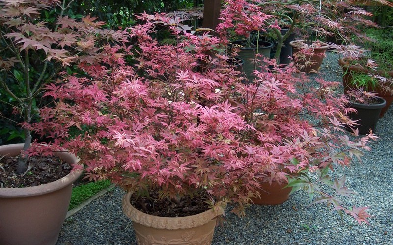 Shaina Japanese Maple Photo 5