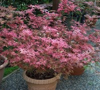 Shop Shaina Japanese Maple - 3 Gallon
