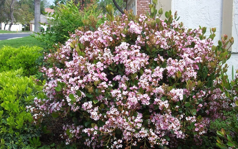 Eleanor Taber Indian Hawthorne - 2.5 Quart - Shrubs for Spring Color | ToGoGarden