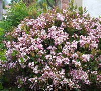 Eleanor Tabor Indian Hawthorne - Raphiolepis indica 'Eleanor Tabor'