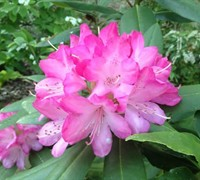 Southgate® Radiance™ Rhododendron