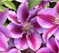 Killian Donahue Clematis