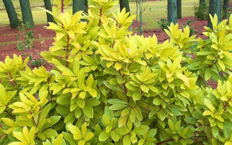 Florida Sunshine Anise - 3 Gallon - Shrubs for Summer Color | ToGoGarden