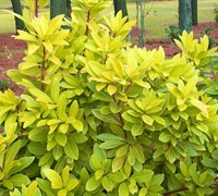 Florida Sunshine Anise - Illicium parviflorum 'Florida Sunshine'