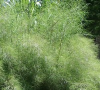Shop Bamboo Muhly Grass - 1 Gallon