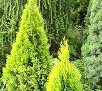 "Highlightsâ""¢ Arborvitae 'Janed Gold' PP 21967"