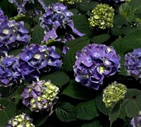 Shop Endless Summer BloomStruck Hydrangea - 1 Gallon