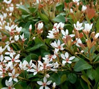 Snow White Indian Hawthorne - Raphiolepis indica 'Snow White'