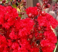 Enduring Summer Red Dwarf Crape Myrtle