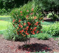 Orange Double Flowering Pomegranate