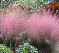Shop Pink Muhly Grass - 1 Gallon