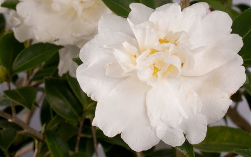 Diana Camellia - 2.5 Quart - Sasanqua Camellias - Fall Blooming | ToGoGarden