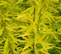 Mellow Yellow Spirea