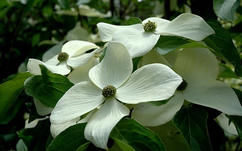Empress of China® Evergreen Dogwood - 5 Gal Pot  - Flowering Trees | ToGoGarden