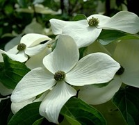 Empress of China® Evergreen Dogwood