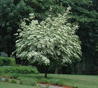Empress of China Dogwood