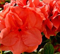 Autumn Monarch™ Encore® Azalea