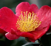Shop Yuletide Camellia Sasanqua - 1 Gallon