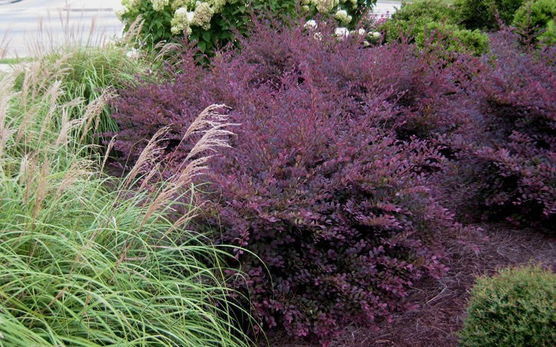 buy purple diamond loropetalum 3 gallon shrubs for