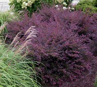 Purple Diamond® Loropetalum