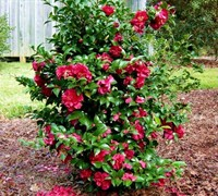 Shop October Magic Rose Camellia - 2.5 Quart