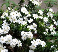 Shop ScentAmazing Gardenia - 2 Gallon