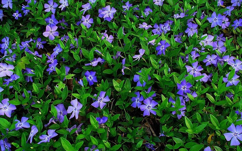 Evergreen Periwinkle Photo 2